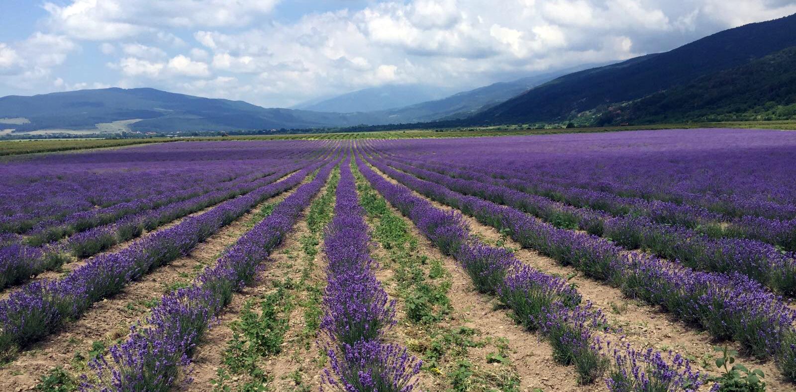 Lavender AJ 1